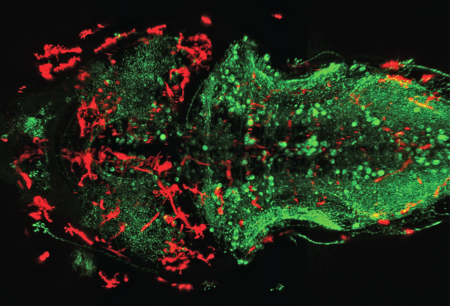 Microglia in red and neurons in green